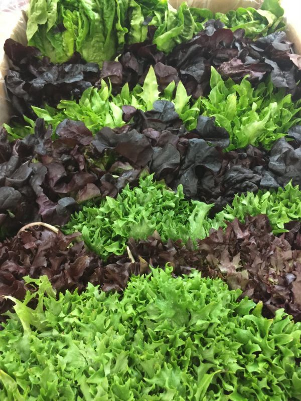 Baby Mix Lettuce